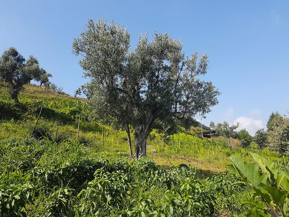 Gli olivi,  il Leccino e il Tondo tipici del territorio, rendono l'olio squisito e molto apprezzato